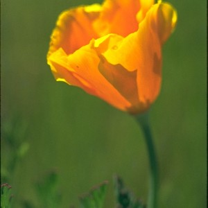 California Gold Poppy  (Eschscholzia californica) ~ 	Escolzia de Oro