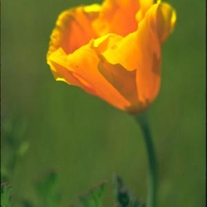 California Gold Poppy  (Eschscholzia californica) ~ Escolzia de Oro