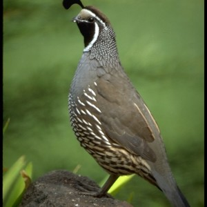 California Quail (Callipepla californica) ~ 	Codorniz de California