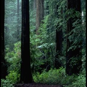 Redwood  (Sequoia sempervirens) ~ Secoya
