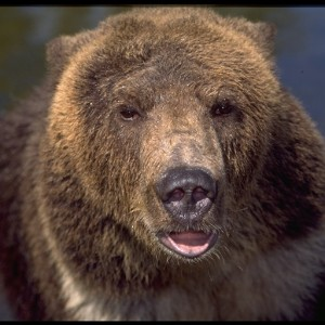 Brown Bear, Grizzly Bear (Ursus arctos)  ~ Oso Grizzly