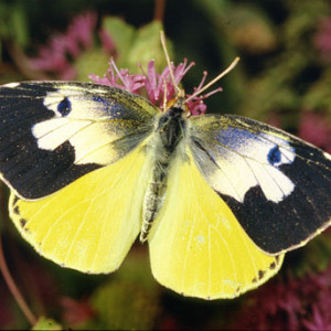 "Male Dogface Butterfly ~ Macho Mariposa con ""cara del perro"""