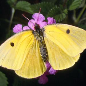"Female Dogface Butterfly ~ Hembra mariposa con ""cara del perro"""