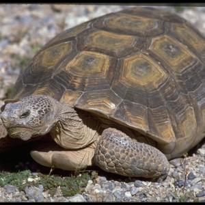 Desert Tortoise ~ Tortuga de desierto