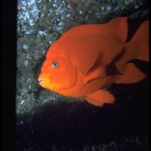 Garibaldi Damselfish  (Hypsypops rubicundus) ~ Pez Damisela
