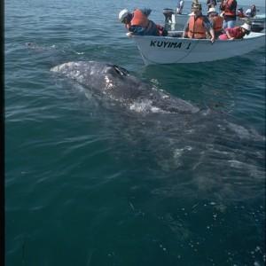 Gray Whale, Grey Whale (Eschrichtius robustus) ~ Ballena gris