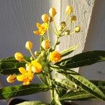 Yellow Milkweed