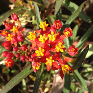 Red Milkweed Cluster
