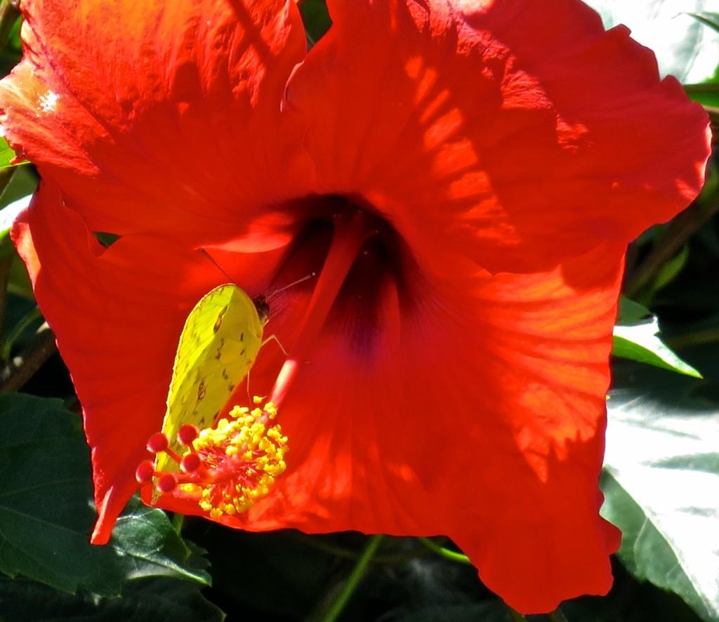Hibiscus ~ Hibisco