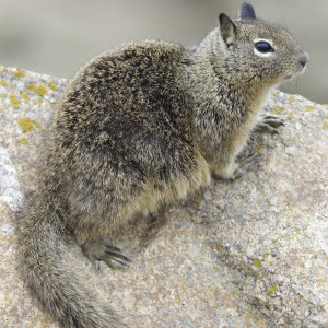 Ground Squirrel ~ Ardilla de la tierra