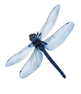 Dragonfly ~ Libélula